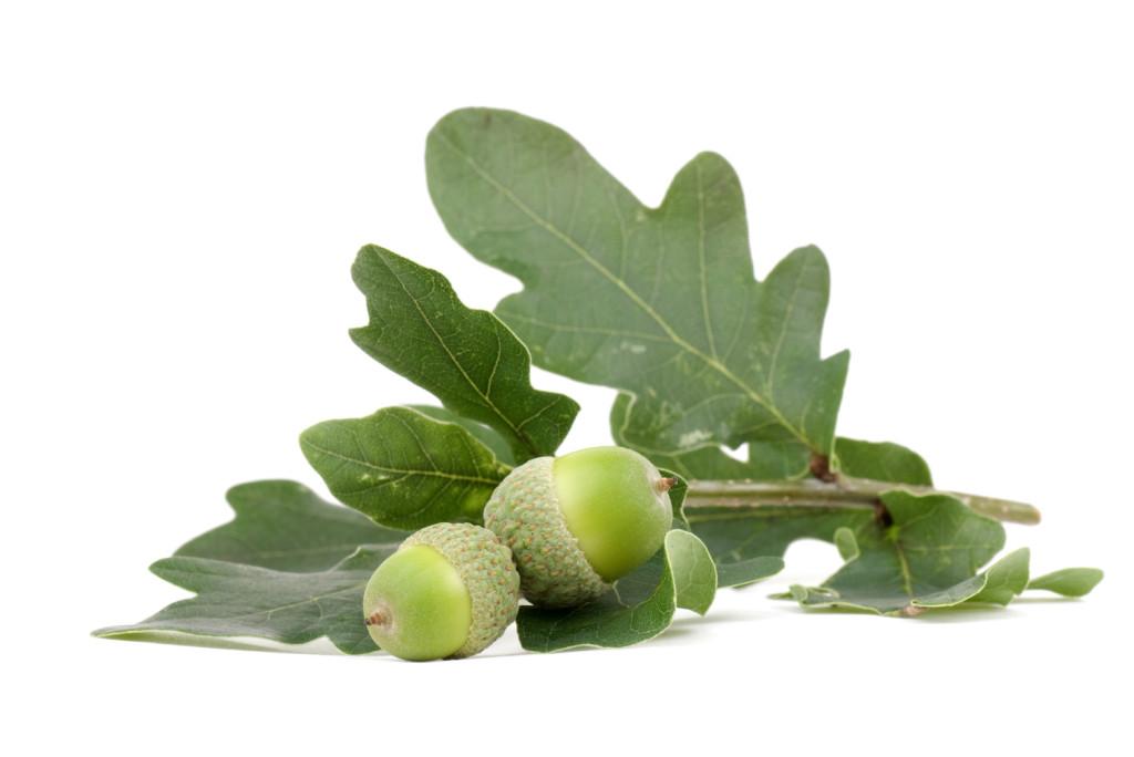 Oak Leaf -iStock_000006844256_Medium